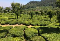 There are more than 50 tea estates in and around Munnar. Tea bushes are planted one to 1.5 meters apart to follow the natural contours of the landscape.