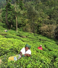 Picking tea leaves is known as woman's work in Kerala. But it's good paying work with provided housing and healthcare. The women use hedge clippers attached to a basket.