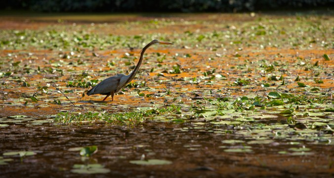 Nearly 500 species of resident and migratory birds are found in Kerala's backwaters.