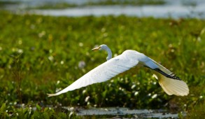 Wildlife in the brackish lagoons of the famed Kerala backwaters. The backwaters include five large lakes linked by canals and fed by 38 rivers.