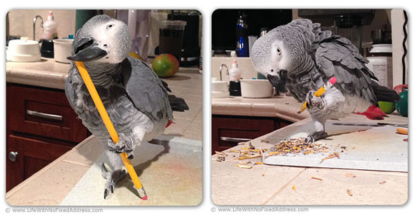 A taste of parenthood. We babysat our friend's two African Grey parrots. Be careful what you say or you will forever hear it. Teelee loves two things more than life itself, it seems, chomping a yellow, No 2 pencil into oblivion, and only yellow pencils. And he is besotted with MacGyver, watching his every move in and out of the house.