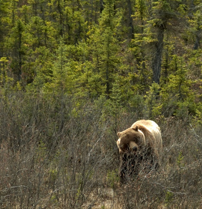Kluane National Park in the western Yukon has North America's most diverse grizzly bear population. On cue, this one ambled out of the meager forest in search of berries at the side of the highway.